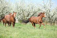 Two quarter horses running in front of flowering trees
