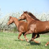Two quarter horses running together in spring. Two quarter horses running together on pasturage in spring Royalty Free Stock Image