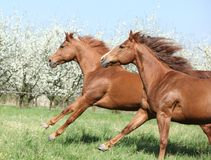 Two quarter horses running together in spring. Two quarter horses running together on pasturage in spring Royalty Free Stock Photos
