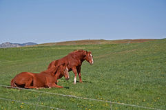 Two Quarter Horses Waking Up Royalty Free Stock Image