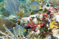 Two Queen Angelfish. Swimming around the coral reef Stock Images
