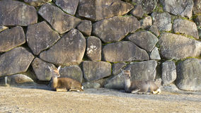 Two quiet deers on a rock wall Royalty Free Stock Images