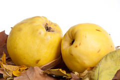 Two Quince. A pair of quince laying in dried autumn leaves Stock Photo