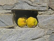 Two quince fruits. Athos peninsula Royalty Free Stock Photos