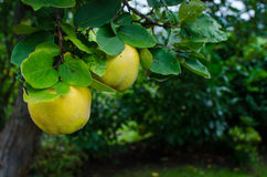 Two quince fruits on a tree branch. In a garden Stock Photo