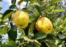 Two quinces Stock Images