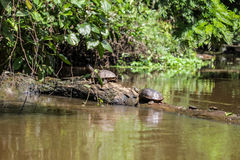 Two quite huge turtles are staying on a fallen tree inside the river. Brown river water full of fauna, flourishing nature and healthy jungle Stock Photos