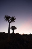 Two Quiver Trees with Sunset Stock Photos