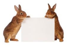 Two rabbit Stock Images