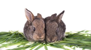 Two rabbit in green grass. Isolated on white background Stock Images