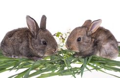 Two rabbit in green grass. Isolated on white background Stock Image