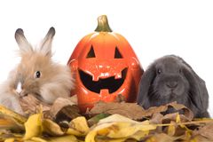 Two rabbit and a pumpkin. Two rabbit and a halloween pumpkin Royalty Free Stock Image