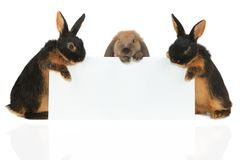 Two rabbit Royalty Free Stock Photos