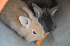 The two rabbit. Were eating Stock Photography