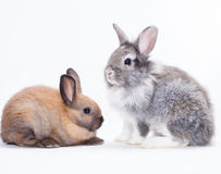 Two rabbits. Bunny isolated on white background Stock Image