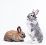 Two rabbits. Bunny isolated on white background Stock Images