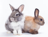 Two rabbits. Bunny isolated on white background Royalty Free Stock Photo