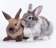 Two rabbits. Bunny  on white background Stock Images