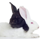 Two rabbits. Two rabbirs white and black shot against white background Royalty Free Stock Photo