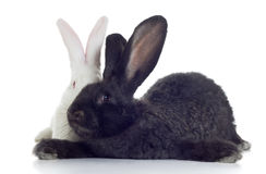 Two rabbits. Two rabbirs white and black shot against white background Royalty Free Stock Image