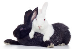 Two rabbits. White and black shot against white background Stock Photos