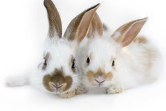 Two rabbits royalty free stock photos