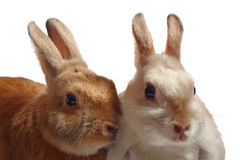 Two rabbits. Brown and grey-whity, isolated on white background Stock Images