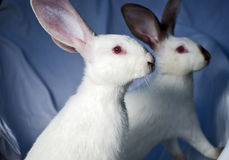 Two rabbits stock image