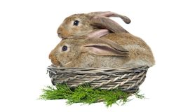 Two rabbits in a basket Royalty Free Stock Images