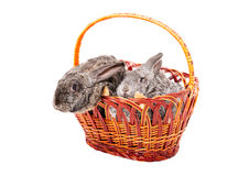 Two rabbits in a basket Royalty Free Stock Photography