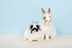 Two rabbits on blue background Royalty Free Stock Image