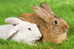Two rabbits bunny on grass Royalty Free Stock Photos
