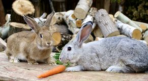 Two rabbits and carrot royalty free stock images