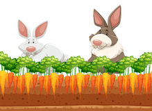 Two rabbits in carrot garden Royalty Free Stock Image