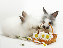 Two rabbits with chamomiles Stock Photos
