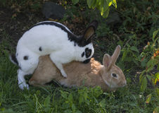 Two rabbits coupling Stock Photos