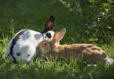 Two rabbits coupling Royalty Free Stock Photography