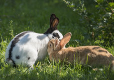 Two rabbits coupling Stock Photo