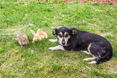 Two rabbits and dog Stock Images
