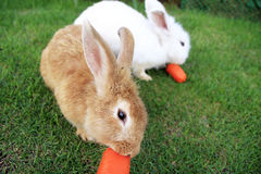 Two rabbits eating carrot Stock Photo