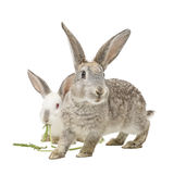 Two rabbits eating carrot leaves Royalty Free Stock Photos