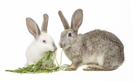 Two rabbits eating carrot leaves Stock Photography