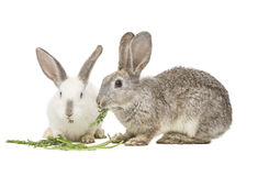 Two rabbits eating carrot leaves Stock Image