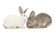 Two rabbits eating a carrot Stock Photos