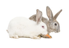 Two rabbits eating a carrot Royalty Free Stock Photos
