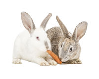 Two rabbits eating a carrot Royalty Free Stock Images