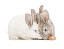 Two rabbits eating a carrot Royalty Free Stock Image