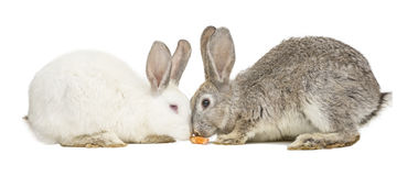 Two rabbits eating a carrot Royalty Free Stock Photo