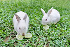 Two rabbits are eating cucumbers. Pair of white bunny are eating cucumbers on a green lawn Stock Photos
