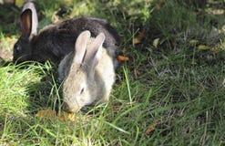 Two rabbits Royalty Free Stock Photos